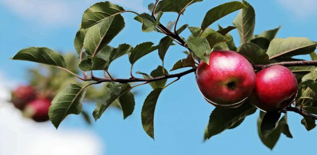 giv et æbletræ eller lignede i gave til haven